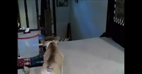 French Bulldog vs. Cat
