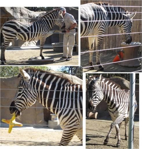 Zebra Tricks