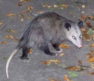 some random possum