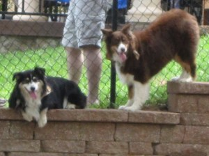 Duddley (black) and Daisy (brown) hanging out on the wall along the fence...silly dogs.