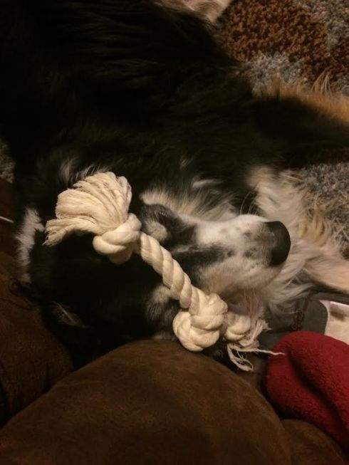 Duddley just hanging out with his rope toy on his head...