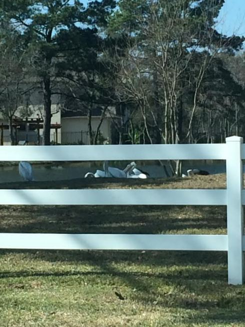 What in the world are pelicans doing at our pond by our house??  There were like 100 of them! (ok maybe 15 but still)