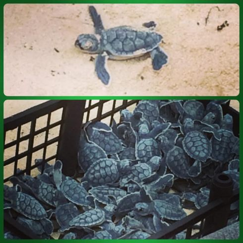 Baby turtles!! There were about 200-300 of these cuties!
