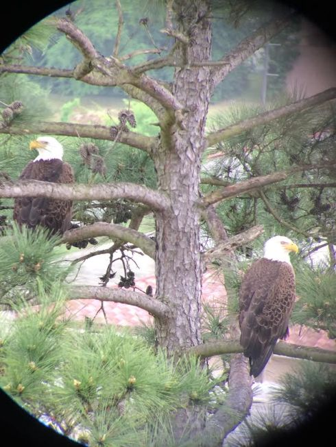 Eagles (minus the baby that was in the nest) in The Woodlands